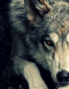 "* * WOLF: "" Me notz 'in fer de kill'. me be justs layin' here thinkin' of wolf stuff. Vida Animal, Mundo Animal, Beautiful Creatures, Animals Beautiful, Tier Wolf, Animals And Pets, Cute Animals, Nature Animals, Wolf Hybrid"