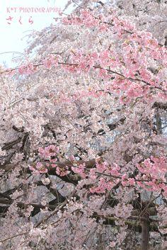 醍醐寺 お花見〜♪ @京都|Kawaii~♪Hunter Journal * nagoya