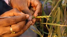 Storyline: IUCN Red List: Wild crops listed as threatened: Wild relatives of modern crops deemed crucial for food security are threatened… Food Security, Climate Change Effects, Meteorology, Science News, Career Change, Agriculture, Farming, Environmental Science, Earth Science