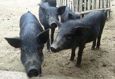 Lợn mán, Lợn mọi heo mọi, lợn mọi heo mọi là gì, nơi bán lợn mọi heo mọi, mua bán lợn mọi heo mọi, chế biến món ngon từ lợn mọi heo mọi, ở đâu bán lợn mọi heo mọi, giá bán lợn mọi heo mọi