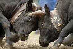 Queens fight Cattle, Mammals, Goats, Adoption, Elephant, Creatures, Horses, Activities, Switzerland