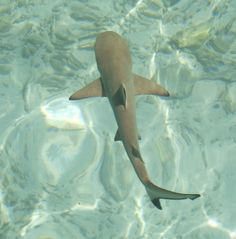 Just saw a Sand Shark. Black Tip Shark, Types Of Sharks, Sea Birds, Ocean Life, Otters, Maldives, Whale, My Photos, Drawings