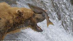 Bears are hunters by nature, but sometimes their paw-eye coordination isn't always the best.  A series of photos captured by French photographer Loc Poidevin show a male brown bear having some trouble getting his brunch on at Brooks Falls in Alaska's Katmai National Park. While attempting to catch salmon leaping upstream, the mammal ends up with more than a few smacks to the face. According to the park's website, Brooks Falls is one of the first streams in the region where energetic and…