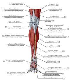 vmede.org sait ?page=4&id=Anatomija_bili4_t1&menu=Anatomija_bili4_t1