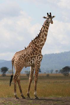 Giraffe in Tanzania (Marc Veraart)