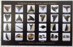 Shark Tooth Fossil Identification Chart