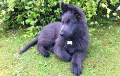 Blue German shepherd puppies pictures, images & videos of all age groups. Adaptable pics of blue GSD animal's cute pet care & living styles.