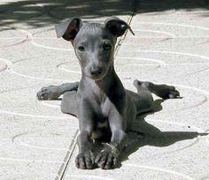 Italian Greyhound kristakmc