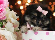 POMERANIAN PUPS Pomeranian pups - pockets, teacups, toys, teddy bears, unusual…