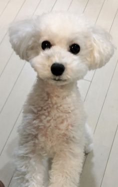 Best Puppies, Dogs And Puppies, Corgi Puppies, Doggies, Dog Grooming Styles, Poodle Grooming, Bichon Dog, Dog Haircuts, Dog Grooming Business
