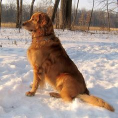 Golden Retriever enjoying the crisp, cold air! Beautiful picture!!!