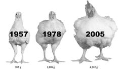 Giant chickens with dates << Larger chickens greater health problems it seems to me....