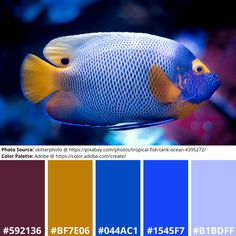 Angel Fish Mood Board in a Colour Palette of Blue, Red, Yellow Science Art, Science Nature, Adobe Color Wheel, Color Palette Generator, Siamese Fighting Fish, Angel Fish, Online Coloring, Exotic Fish, Pink Yellow