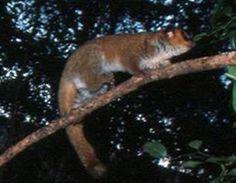 Madagascar   Lavasoa Mountains dwarf lemur (Cheirogaleus lavasoensis). Male Lavasoa Dwarf Lemur, Cheirogaleus lavasoensis, at Petit Lavasoa, Madagascar (Andreas Hapke)