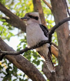 Kookaburra Closeup