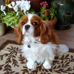 Ella belle - My sweet little #Cavalier King Charles #Spaniel. #OhFaro