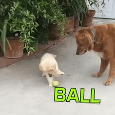 The attention span of a golden puppy : gifs