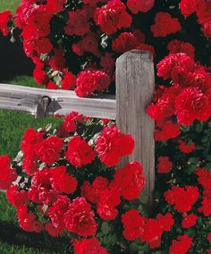 Red Flowers on Fence Beautiful Roses, Red Flowers, Beautiful Gardens, Red Roses, Beautiful Flowers, My Flower, Flower Power, Red Climbing Roses, Bouquet Champetre
