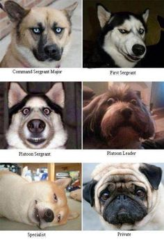 Military rank in dog faces
