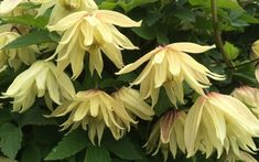 A unique new double flowered yellow clematis called 'Amber