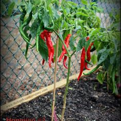 Hangjiao 7 Super Nova - Space Chilli - The Hippy Seed Company Chilli Seeds, Super Nova, Hippy, Chili, Stuffed Peppers, Vegetables, Space, Floor Space, Chile