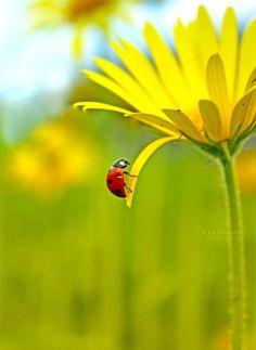 Ladybug by Ekaterina Semenova on 500px