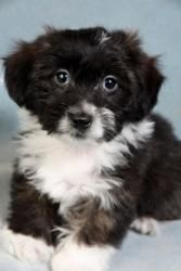 Hector Havanese is an adoptable Havanese Dog in Cabool, MO. Hector Havanese Havanese Baby Male Small Actual birthdate: 11/29/12 Weight: 3 pounds  Adoption fee: $300  Look ...