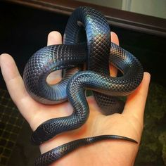 Cute Reptiles, Reptiles And Amphibians, Mexican Black Kingsnake, Milk Snake, Rainbow Snake, Band On The Run, Cute Snake, Snake Art, Beautiful Snakes