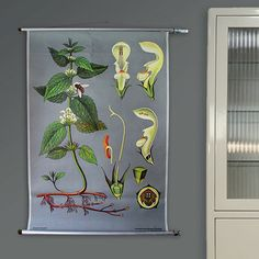 Vintage botanical pull down chart map - White dead-nettle / Weiße Taubnessel - Jung Koch Quentell, Germany
