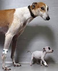 Greyhound pup and mum