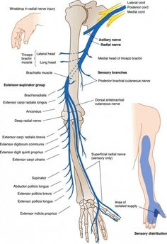 anatomy of radial nerve – Anatomy facts Nerve Anatomy, Radial Nerve, Human Anatomy And Physiology, Medical Anatomy, Muscle Anatomy, Reflexology, Occupational Therapy, Physical Therapy Student, Massage Therapy
