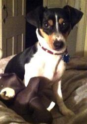 Jude in RI is an adoptable Beagle Dog in Providence, RI.   ... ...
