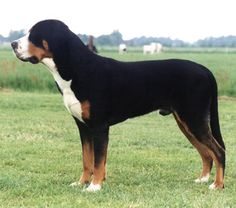 Great Swiss Mountain Dog | 2puppies.com