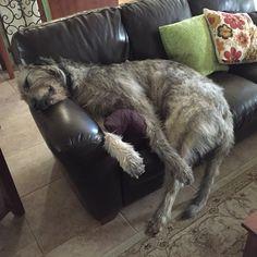 Goji, 2 year old Irish Wolfhound
