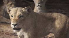 Nala and Queen Sarabi Lion King Remake, Lion King Movie, Disney Lion King, Disney Pixar Movies, Disney And Dreamworks, Disney Cartoons, Lion Africa, Simba And Nala, Le Roi Lion