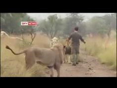 This is shocking The most amazing thing you will ever watch. A man visits lions in the wild and becomes friends, absolutely amazing and a must watch video. Beautiful Creatures, Animals Beautiful, Cute Animals, Ocelot, Lynx, Jaguar, Life In Paradise, Wild Lion, Cute Gif
