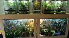 Atmosphere Chameleons enclosure ideas (plants) Chameleon Enclosure, Reptile Enclosure, Reptile Terrarium, Terrarium Ideas, Reptiles, Reptile Room, Quokka, Animal Room, Chameleons