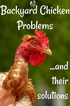Backyard chicken care: common poultry problems and their solutions. Including illness and death; rodents and flying. Raising Backyard Chickens, Keeping Chickens, Backyard Farming, Backyard Poultry, Urban Chickens, Pet Chickens, Chicken Coop Plans, Diy Chicken Coop, Chicken Tractors