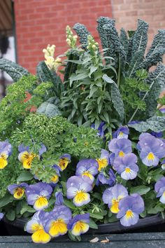 Kale – lacinato  Parsley, Snapdragons, Pansies