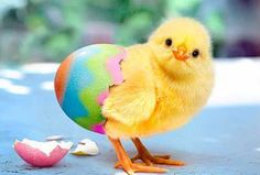 It's a Spring thing! Happy Easter Spring and Easter Baby Animals, Funny Animals, Cute Animals, Hoppy Easter, Easter Bunny, Easter Chick, Happy Easter Photos, Happy Easter Wishes, Photo Humour