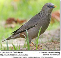 灰頭椋鳥Chestnut-tailed Starling (Sturnus malabaricus)