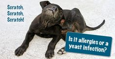 Itchy Dog? It Might Be A Yeast Infection
