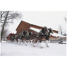 Trademark Fine Art Budweiser Clydesdales Snowing in Front of a Barn Canvas Art, Size: 16 x Multicolor Horses In Snow, Big Horses, Pretty Horses, Horse Love, Beautiful Horses, Animals Beautiful, Beautiful Creatures, Clydesdale Horses, Breyer Horses