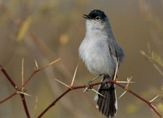 Search Results for Black-tailed Gnatcatcher | All About Birds