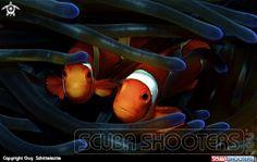 Guy Schittekatte  Underwater photography on Scubashooters.net