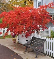 one Japanese Red Maple  A showy, versatile species. Use as a single specimen or in borders or groupings. Can be a pruned into a single-stemmed small tree or multi-stemmed shrub. The deeply lobed leaves are a vibrant red or reddish-purple in spring and fall, usually turning green in the summer. Seed grown. Grows to 15' to 25', 20' spread.