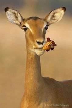 An impala eating a flower from a sausage tree ~ © Patrick Bentley Animals And Pets, Funny Animals, Cute Animals, Wildlife Photography, Animal Photography, Beautiful Creatures, Animals Beautiful, Tier Fotos, African Animals