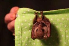 Poor, misunderstood bats. See this one?! It's like a little hamster with wings! Oh my god!