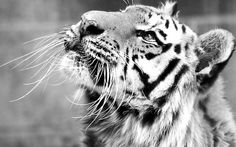 Image uploaded by Antonieta Campos. Find images and videos about beautiful, photography and black on We Heart It - the app to get lost in what you love. Save The Tiger, Tiger Love, Beautiful Creatures, Animals Beautiful, Cute Animals, Animals Tumblr, White Bengal Tiger, Black Tigers, Watercolor Cat