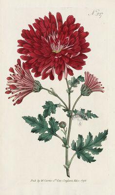 Indian Chrysanthemum from William Curtis Flowers, Hydrangea, Hibiscus, Hyacinth, Red Lily, Chrysanthemum, Tulip